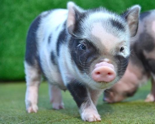 Rent Micro Pig 2