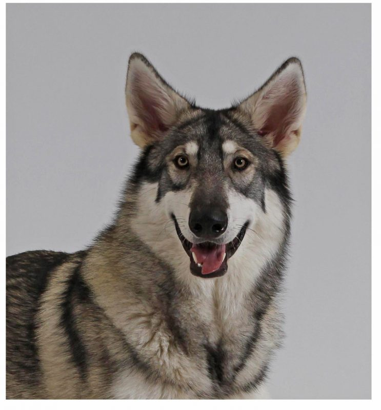 Rent Wolfdog 4