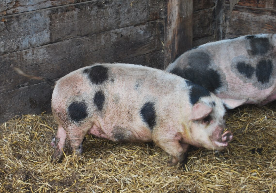 Rent Old Spot Pig 2