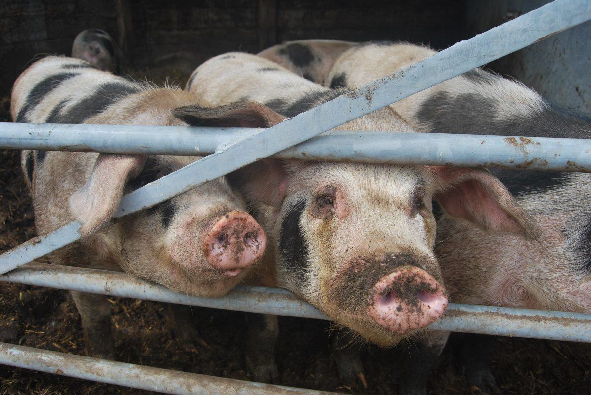 Rent Old Spot Pig
