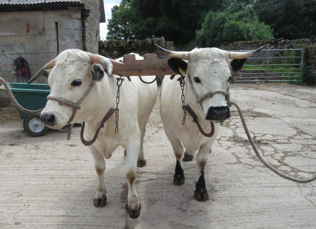 Rent Oxen