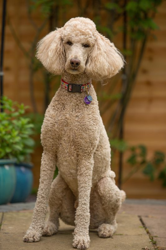 Rent Poodle (Standard 1)