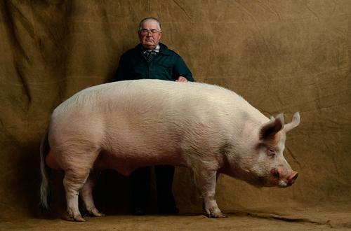 Rent White Pig