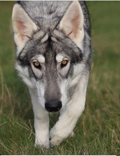 Rent Wolfdog 2