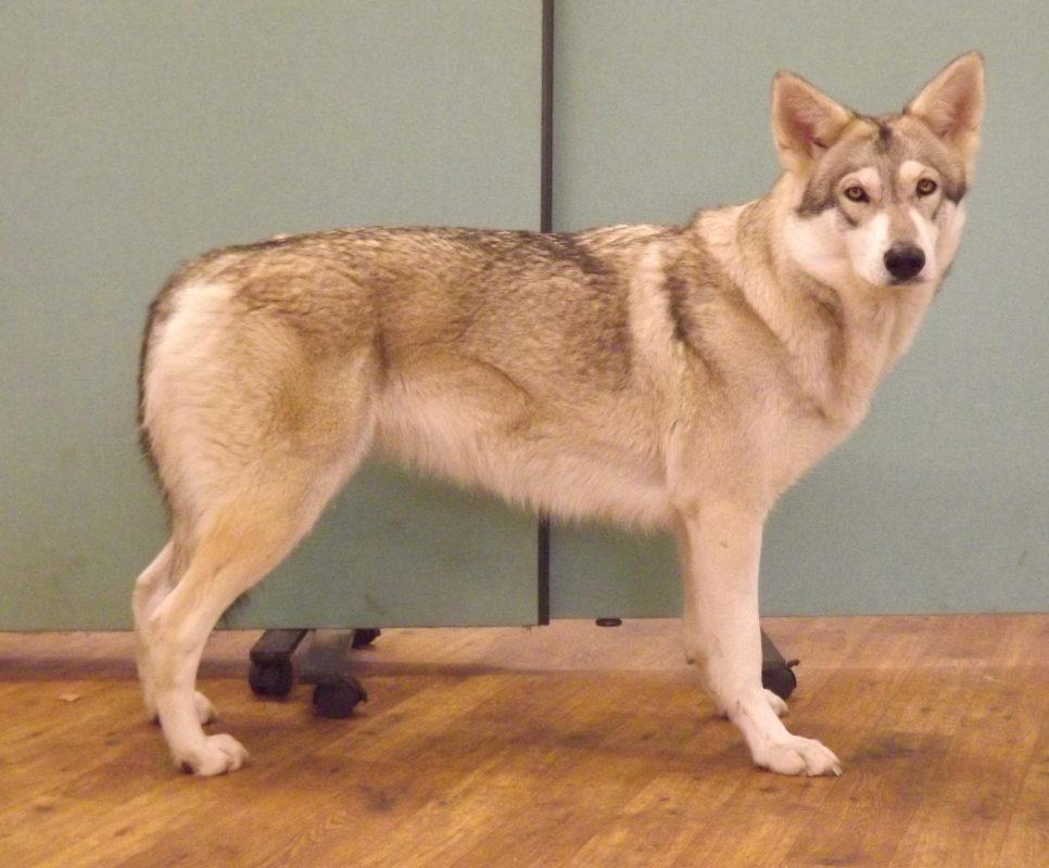 Rent Wolfdog 1
