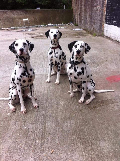 Rent Dalmatians