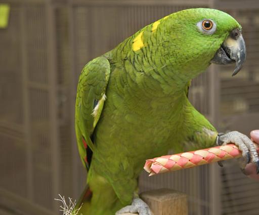 Rent Amazon Parrot