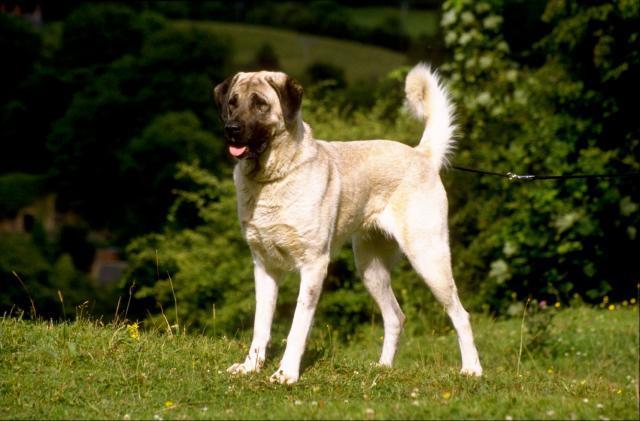 Rent Anatolian Shepherd Dog