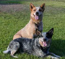 Rent Australian Cattle Dog