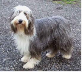 Rent Bearded Collie Dog