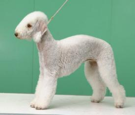 Rent Bedlington Terrier