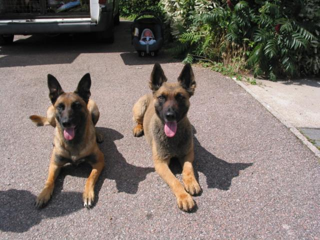 Rent Belgian Shepherds