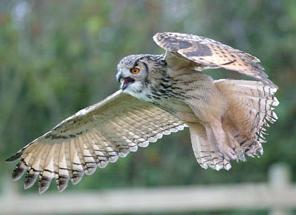 Rent Bengal Eagle Owl