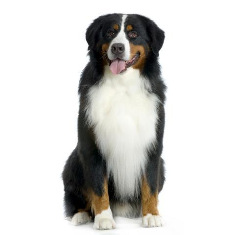 Rent Bernese Mountain Dog