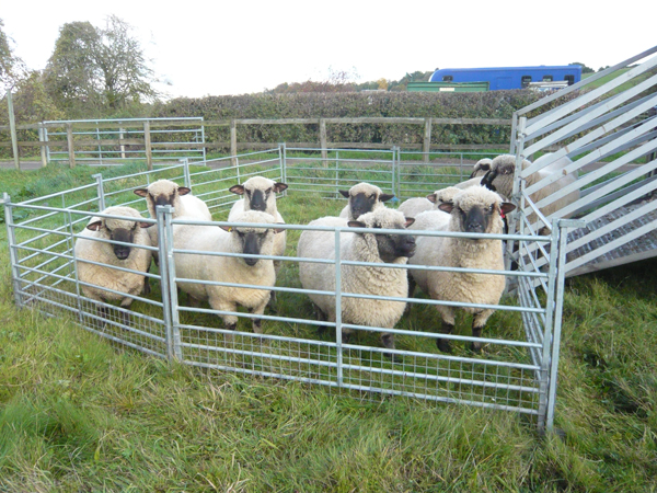 Rent Black Faced Sheep