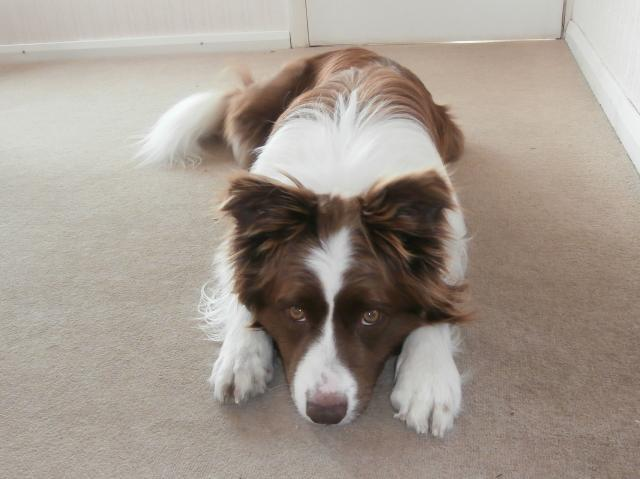 Rent Border Collie 4