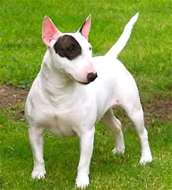 Rent Bull Terrier 1