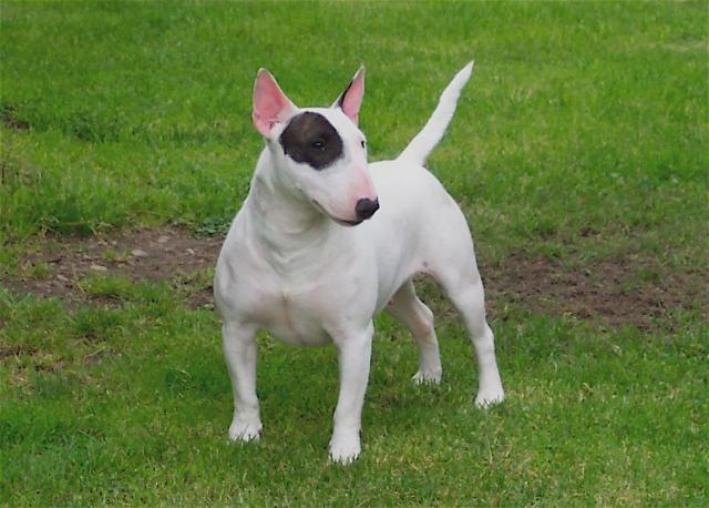 Rent Bull Terrier Miniture