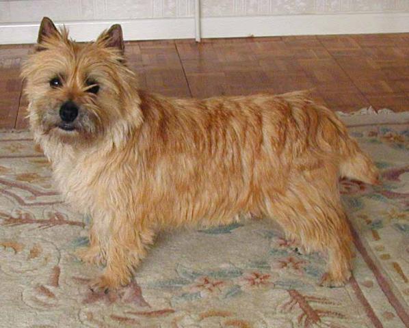 Rent Cairn Terrier