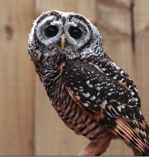 Rent Chaco Owl