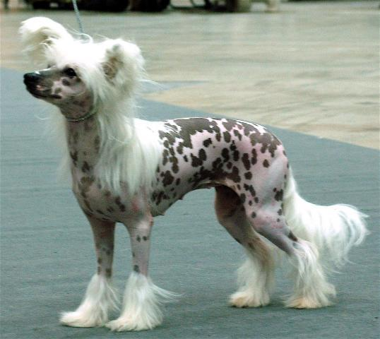 Rent Chinese Crested Dog