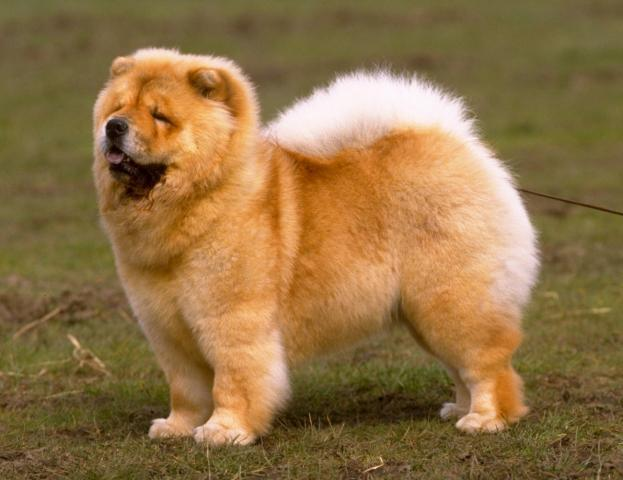Rent Chow Chow