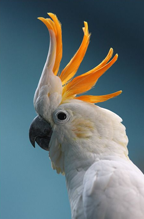 Rent Cockatoo