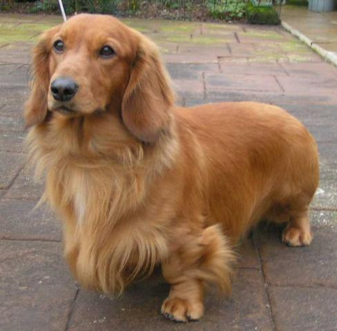 Rent Dachshund Long Haired