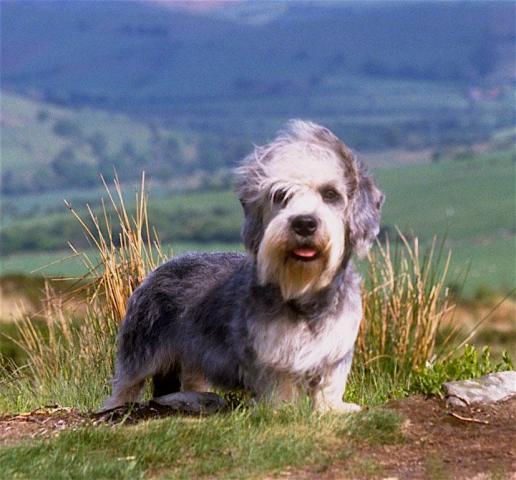 Rent Dandie Dinmont Terrier