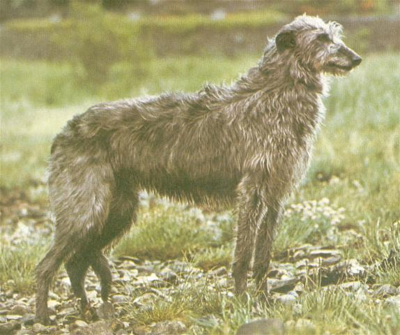 Rent Deerhound