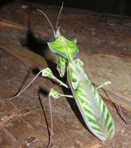 Rent Devil Mantis