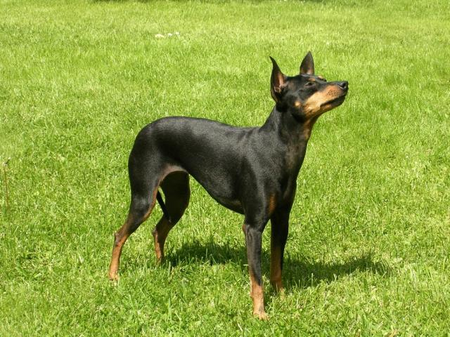 Rent English Toy Terrier