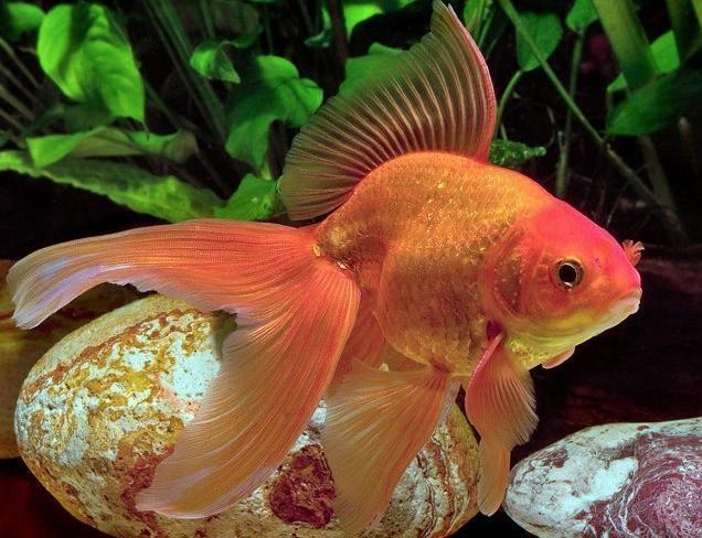 Rent Goldfish