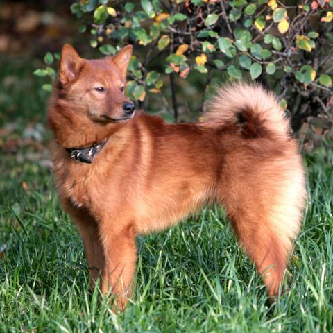 Rent Finnish Spitz