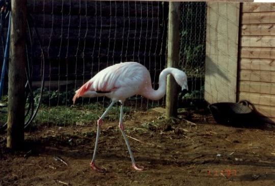 Rent Flamingo