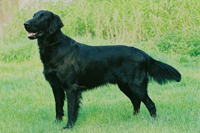 Rent Flat Coated Retriever