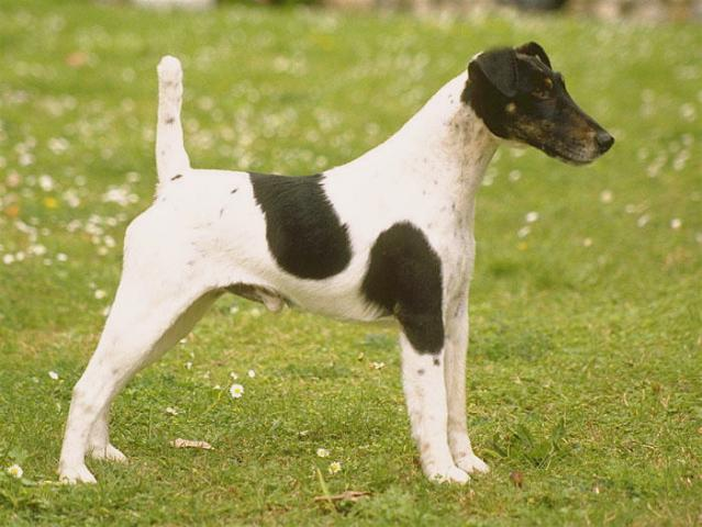 Rent Fox Terrier (Smooth)