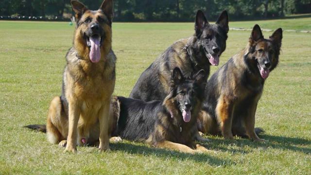Rent German Shepherds