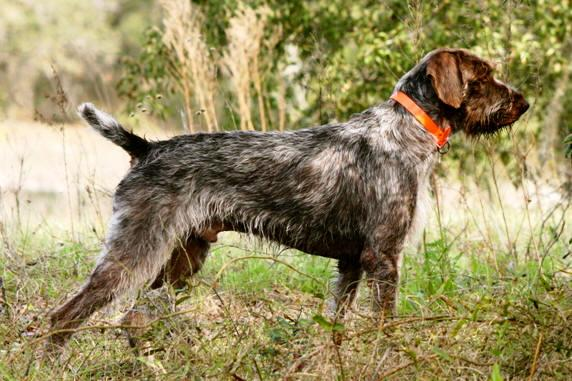 Rent German Wire Haired Pointer