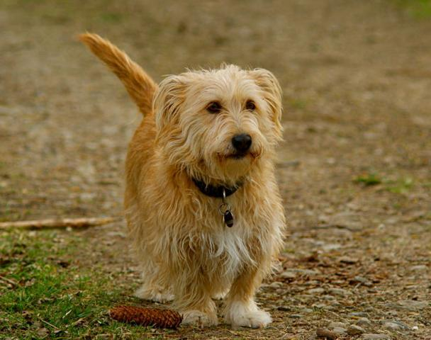 Rent Glen Of Imaal Terrier