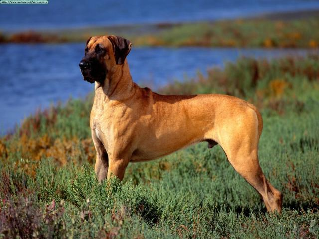 Rent Great Dane 2