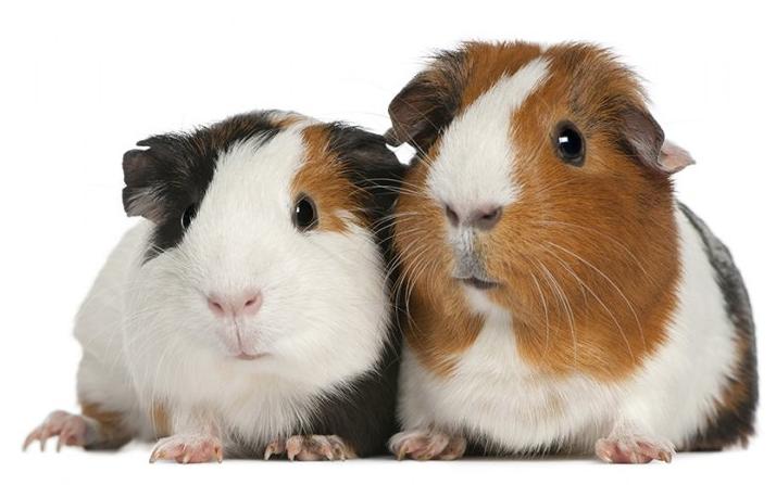Rent Guinea Pigs