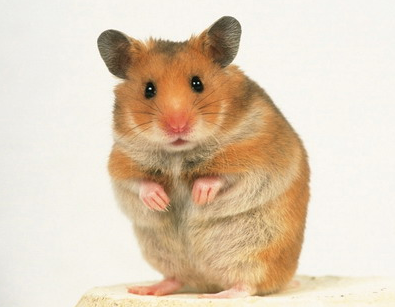 Rent Hamster 2