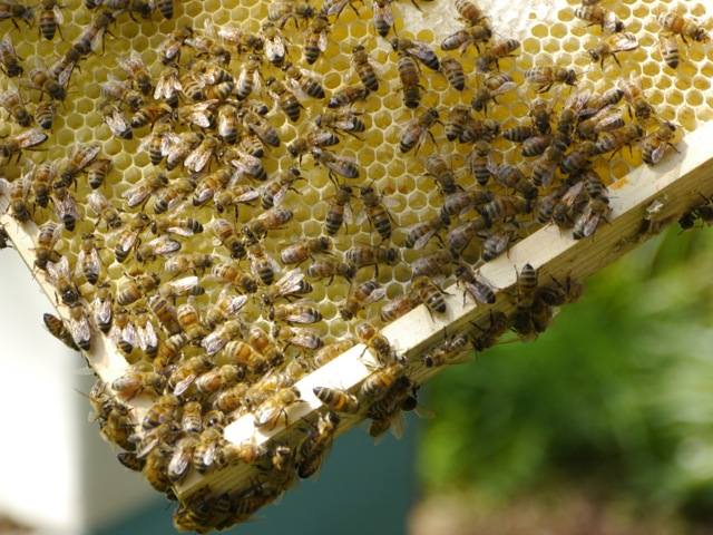 Rent Honey Bees
