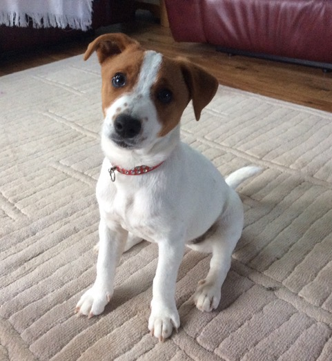 Rent Jack Russell