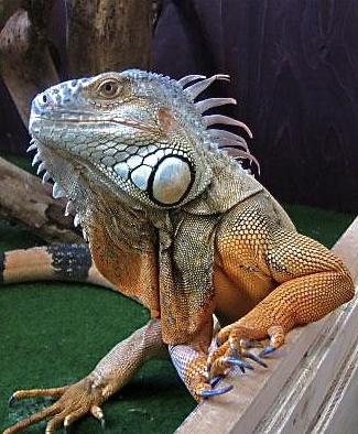 Rent Iguana 3