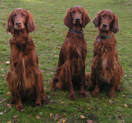 Rent Irish Setters