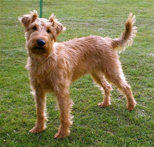 Rent Irish Terrier
