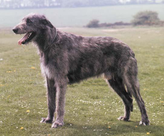 Rent Irish Wolfhound 1