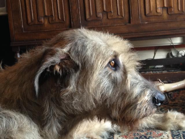 Rent Irish Wolfhound 2